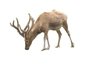DANGER_REINDEER_by_mzacha_782411_reindeer